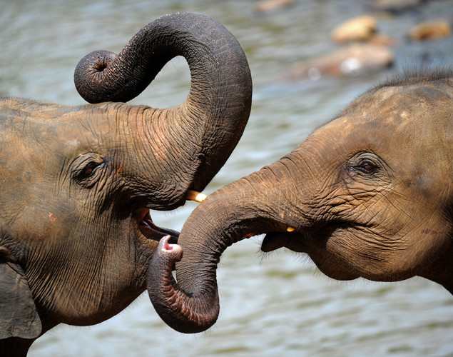 Elephants are pictured at the Pinnawela Elephant Orphanage in Pinnawela.