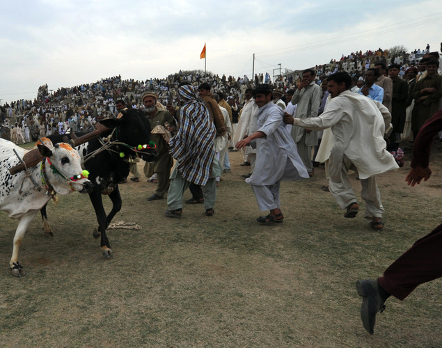 Spectators scatter as a pair of bulls run out of control during a bull racing festival in the village of Mari in Punjab province.