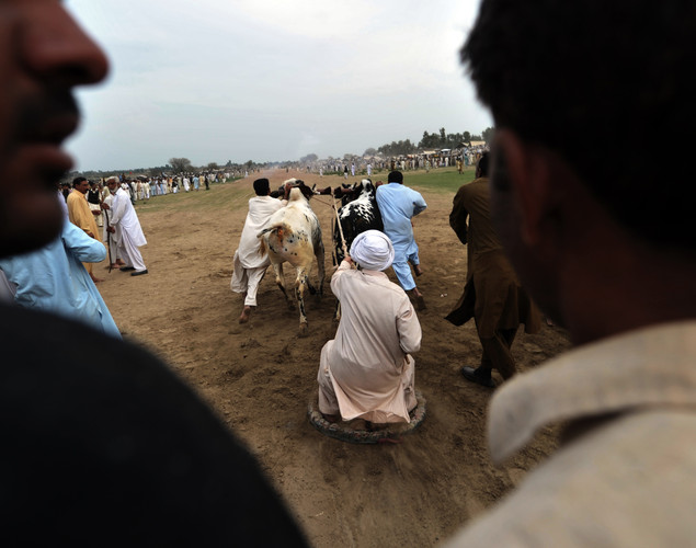 A jockey urges a pair of bulls from the start line during a bull racing festival in the village of Mari in Punjab province.