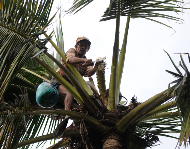 A toddy tapper makes a cut on a coconut tree in order to collect sap to make palm wine, or toddy as it is locally known, in Wadduwa.