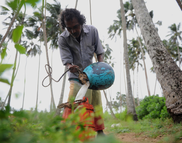 A toddy tapper pours coconut tree sap into a collection pot to make palm wine, or toddy as it is locally known, in Wadduwa.