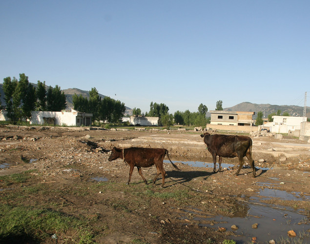 A local resident walks with his animals at the site of the demolished compound of slain Al-Qaeda leader Osama bin Laden in northern Abbottabad.