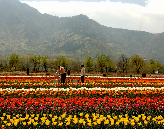 Kashmiri gardeners work among the 360,000 tulips blooming in the fields outside the summer capital of Jammu and Kashmir, in Asia's largest tulip garden.