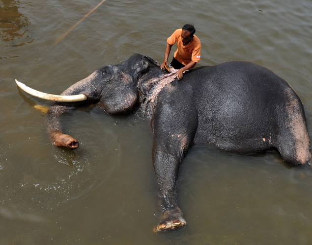 A handler washes an elephant in a river at the Pinnawela Elephant Orphanage in Pinnawela.