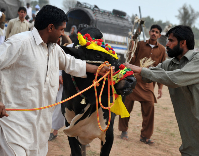 Participants prepare a bull for a race during a bull racing festival in the village of Mari in Punjab province.