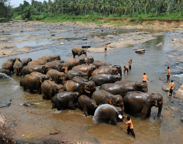 A herd of elephants from the Pinnawela Elephant Orphanage are pictured at a river in Pinnawela.