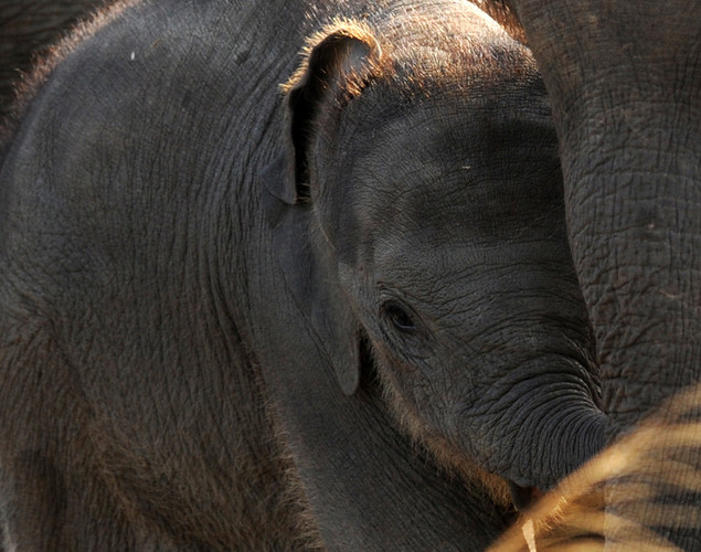 A little more than 7,300 wild elephants roam the island nation, according to data announced by Sri Lankan wildlife authorities.