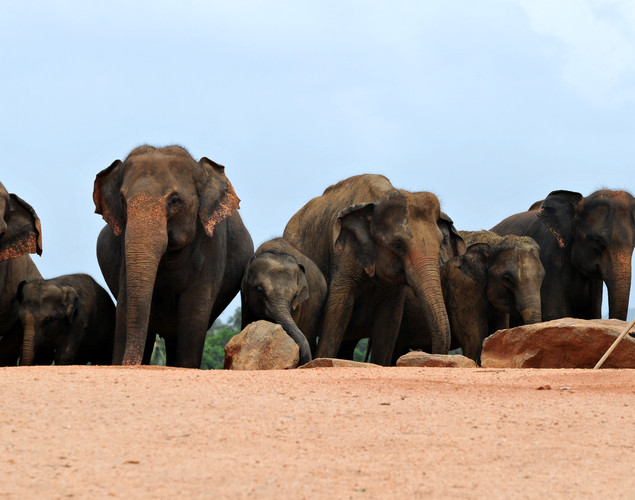 A herd of elehpants at the Pinnawela Elephant Orphanage in Pinnawela.
