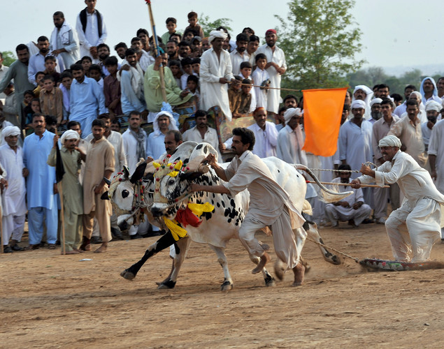 A Pakistani man helps a farmer to handle his bulls during a bull race competition on the outskirts of Islamabad.