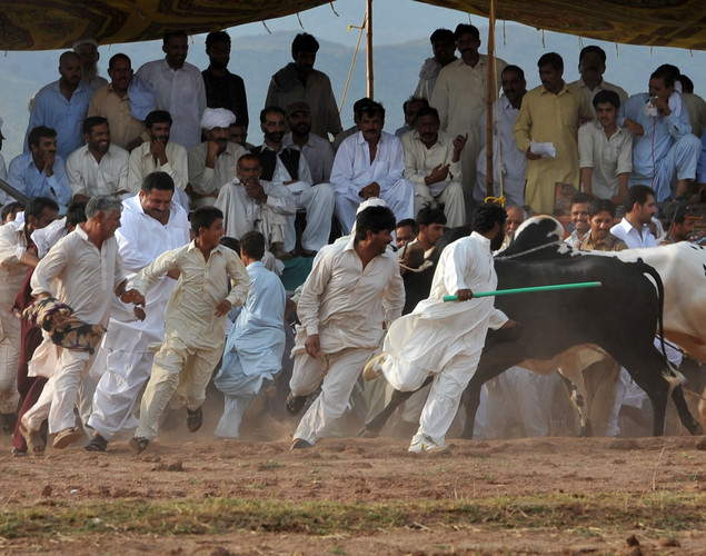 Pakistani farmers and villagers run from bulls during a bull race competition on the outskirts of Islamabad.