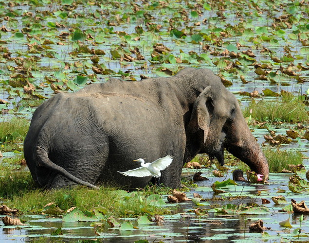 An elephant walks in a lake at Yala National Park in the southern district of Yala.