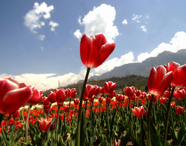 Tulips blooming in the fields outside the summer capital of Jammu and Kashmir, in Asia's largest tulip garden.