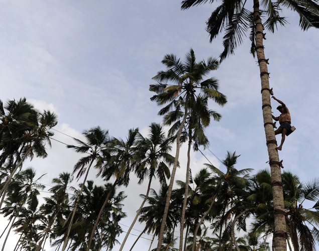 A toddy tapper climbs a coconut tree in order to collect sap to make palm wine, or toddy as it is locally known, in Wadduwa.