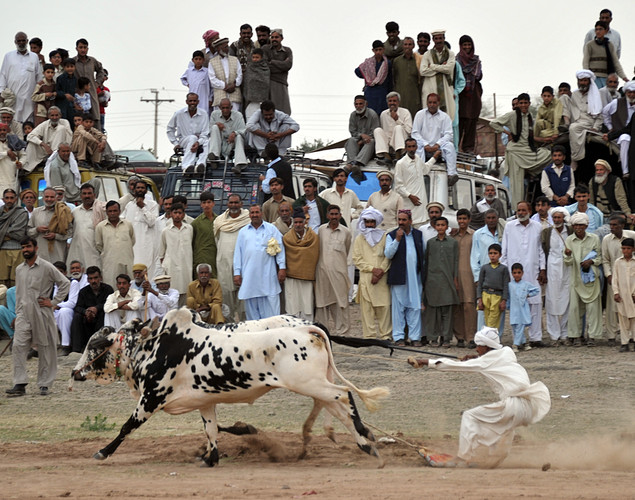 A jockey urges a pair of bulls towards the finish line during a bull racing festival in the village of Mari in Punjab province.