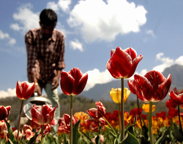 A Kashmiri gardener works among the 360,000 tulips blooming in the fields outside the summer capital of Jammu and Kashmir, in Asia's largest tulip garden.