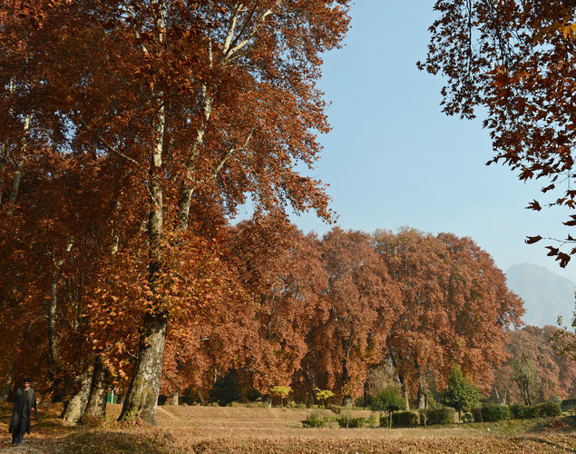 A Kashmiri muslim walks near a chinar (maple) trees during autumn in Srinagar.