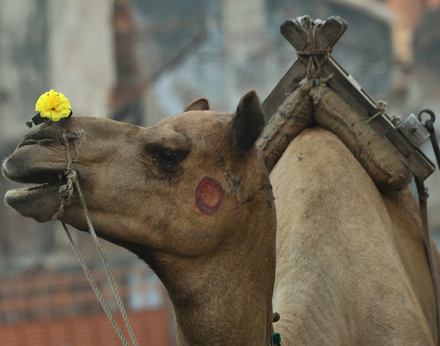 A camel, seen with an ornamental flower over its nose, is pictured on a deserted street after sunrise in the old city of Ahmedabad.