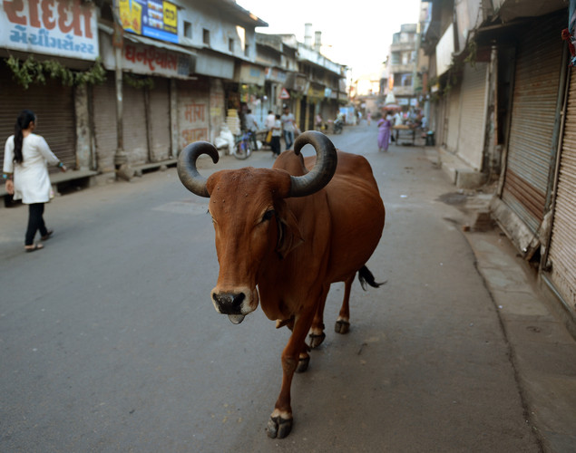 A cow walks down a near-deserted empty street during morning hours in the old city of Ahmedabad.