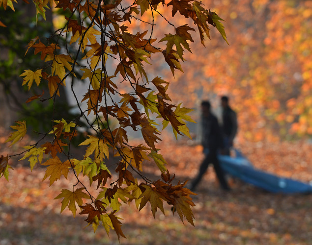 Kashmiri Muslims carry tree leaves near maple trees during autumn in Srinagar.