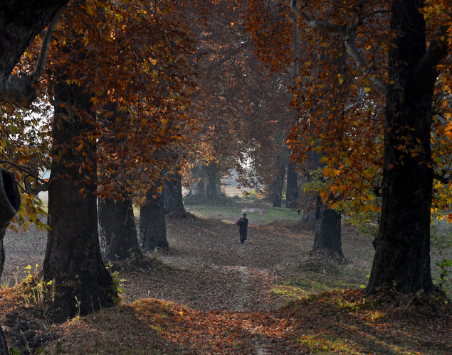 Kashmiri Muslims walk near maple trees during autumn in Srinagar.