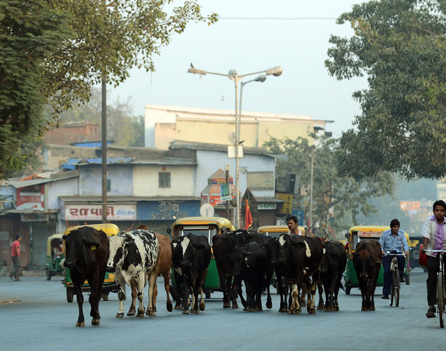 A herd of cows walk down a street at dawn in the old city of Ahmedabad.