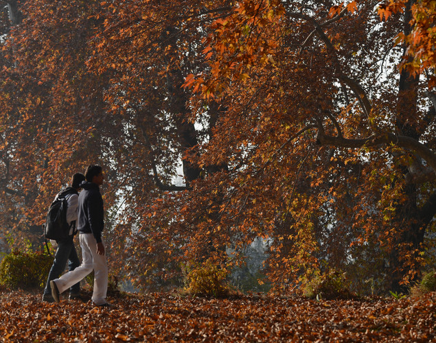 Indian tourists walk near maple trees during autumn in Srinagar.