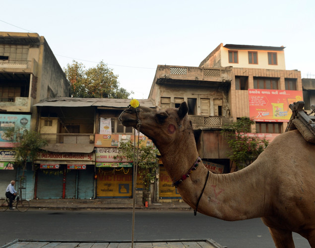A camel is pictured on a deserted street after sunrise in the old city of Ahmedabad.