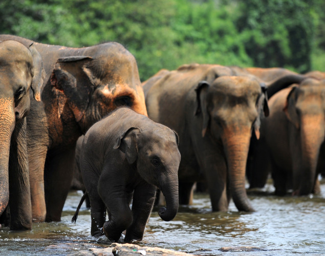 A juvenile elephant (C) is pictured with other pachyderms at the Pinnawela Elephant Orphanage in Pinnawela.