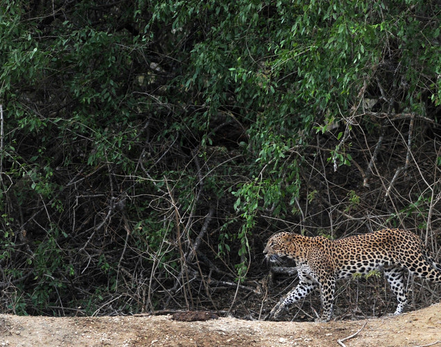A leopard walks through the bush at Yala National Park in the southern district of Yala.