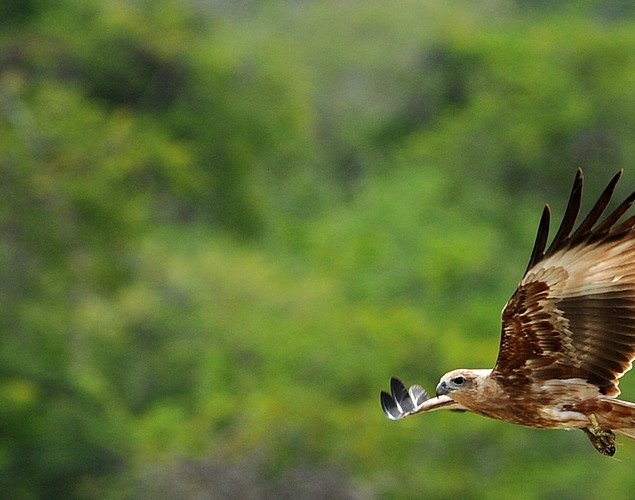An eagle flies at the Yala National Park in the southern district of Yala.