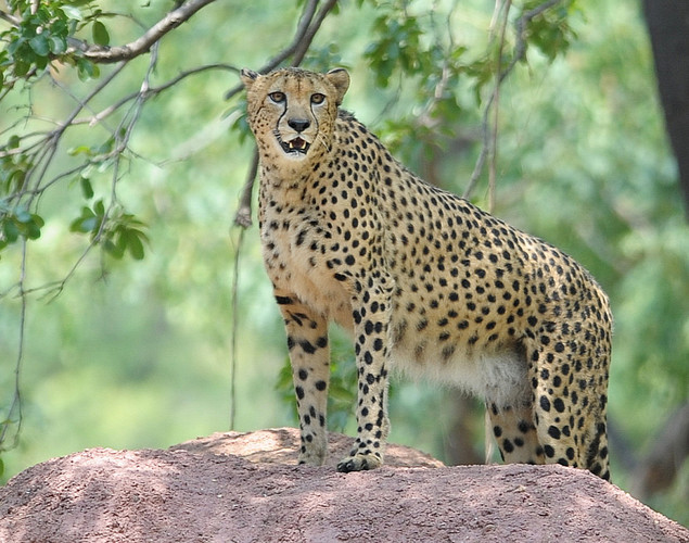 Three Cheetahs from the Dvur Kralove Zoo in the Czech Republic were brought to Hyderabad as the new addition to the Zoological park under an animal exchange program.