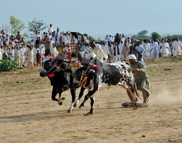 Pakistani farmer guides his bulls during a bull race competition on the outskirts of Islamabad.