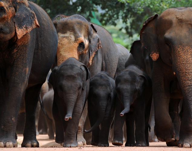 Juvenile elephants (C) are pictured with adult pachyderms at the Pinnawela Elephant Orphanage in Pinnawela.