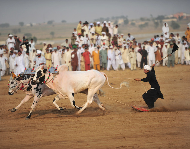 A jockey is pulled by his bulls during a bull race competition in None village on the outskirts of Islamabad.