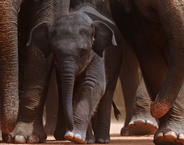 A juvenile elephant (C) is pictured with adult pachyderms at the Pinnawela Elephant Orphanage in Pinnawela.