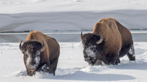 Yellowstone: Bison slaughters done for the season