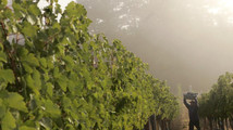 Worker picks grapes at vineyard during wine harvest season in California