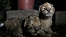 Newborn lion cubs die in Hamas-run zoo in Gaza