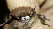 Biologist: Vermont bats begin white nose recovery