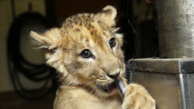Fans pick names for 3 lion cubs at New Jersey park