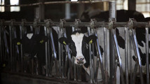Some of the 500 head of dairy cows owned by Brian Brown of Sunburst Dairy eat late morning in Belleville, Wisconsin