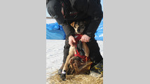 2014 Iditarod White Mountain