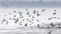 Birds drawn to frozen lake's Vt.-NY ferry channels