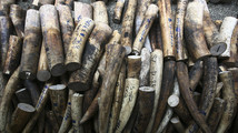 Confiscated elephant ivory tusks are pictured on the floor of the rescue center at the Ninoy Aquino Parks and Wildlife center in Quezon city