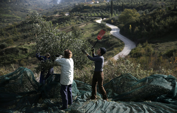 AP PHOTOS: Greek olive oil industry faces crisis