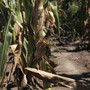 Showers to slow U.S. corn seedings from blistering pace