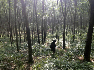 Guide walks through the woods outside a suspected human trafficking camp near Baan Klong Tor