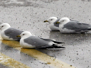 Scientists test ideas in bird botulism outbreaks