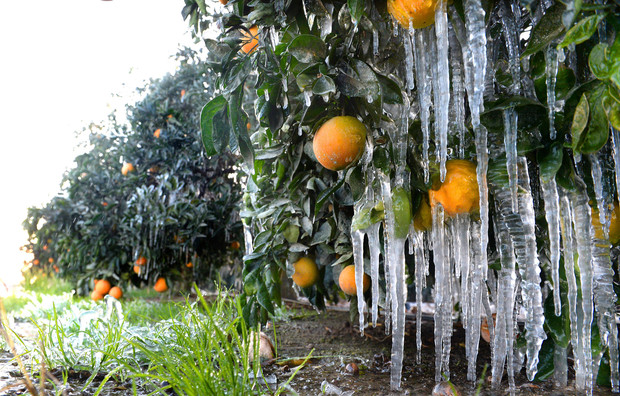 Calif. citrus growers toil to fight freeze