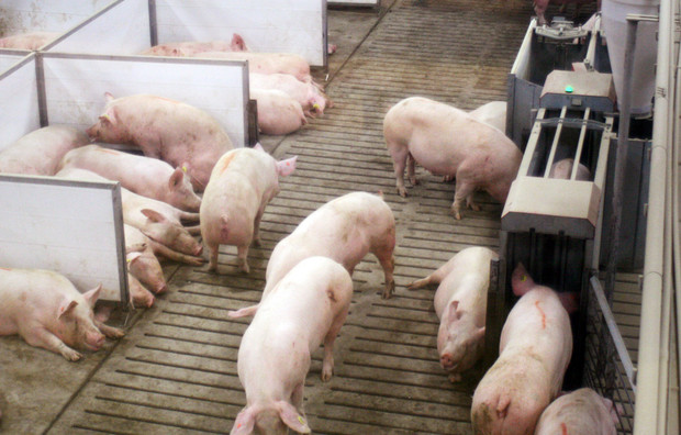 Bigger pig pens create challenges for farmers